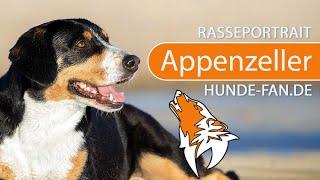 Appenzeller Sennenhund Rassebeschreibung & Rasseportrait [2018] - W...