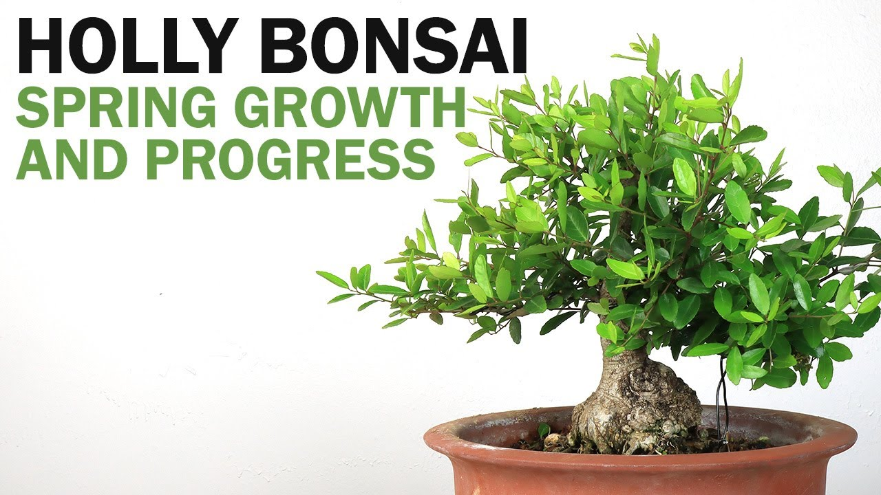 Let it Grow! Late Spring Growth - Holly Bonsai