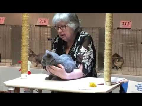 Best of Breed-Denver Cat Show March 2017