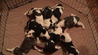American Bulldog puppies 1st time eating soft food