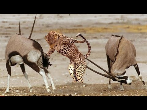 Lucky Prey Animals Escape Predators! Best of Animals Attack Fail and Animal Fight Back