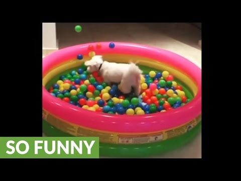 Dog jumps into ball pit in epic slow motion