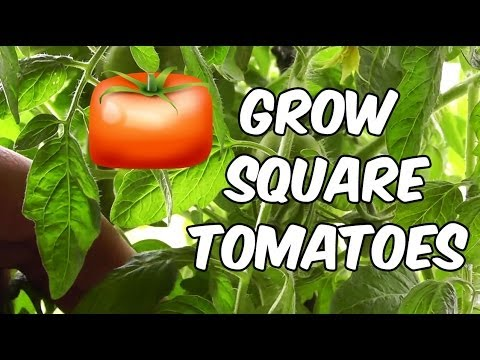 How To Grow Square Tomatoes