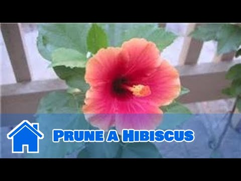 Gardening Tips How To Prune A Hibiscus Youtube