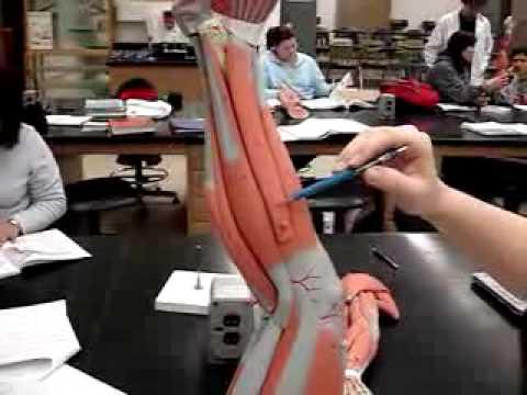 human leg model - YouTube