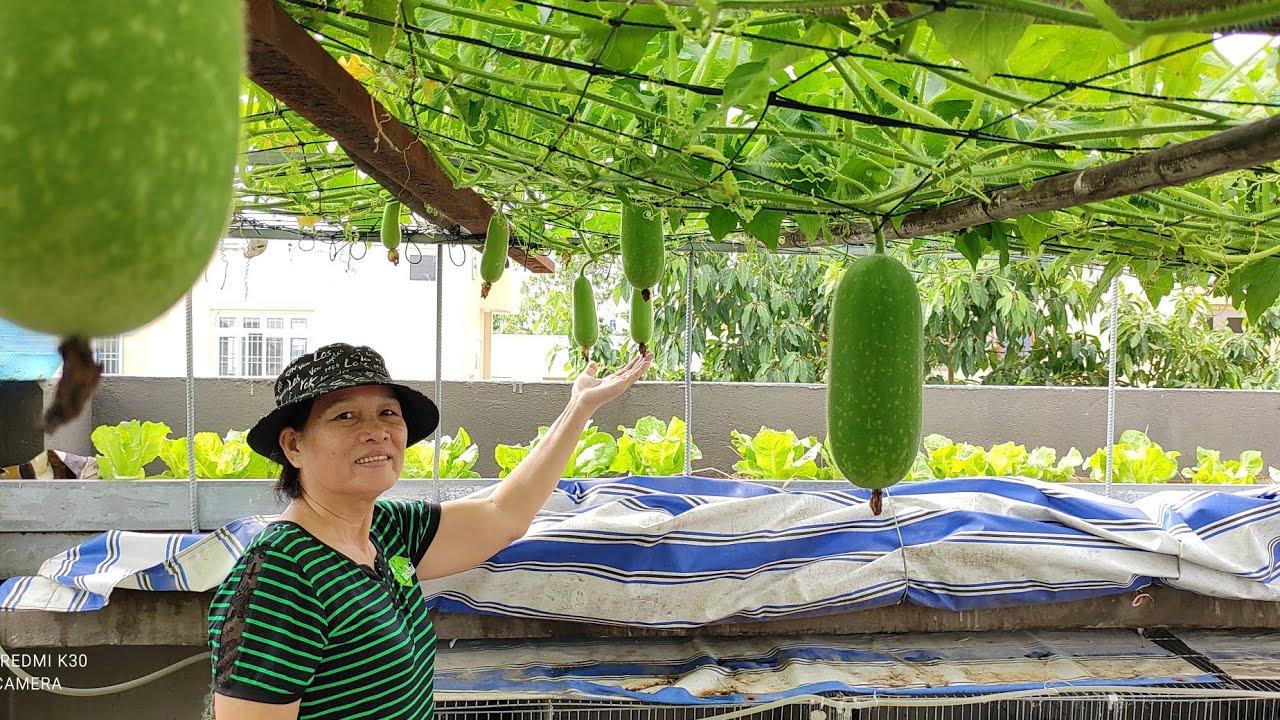 Hướng dẫn trồng Bí Đao trong thùng thông minh ít đất trái vẫn nhiều | Khoa Hien 415