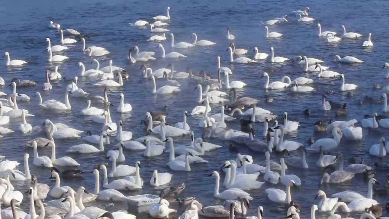 helping-swans-this-coronavirus-pandemic