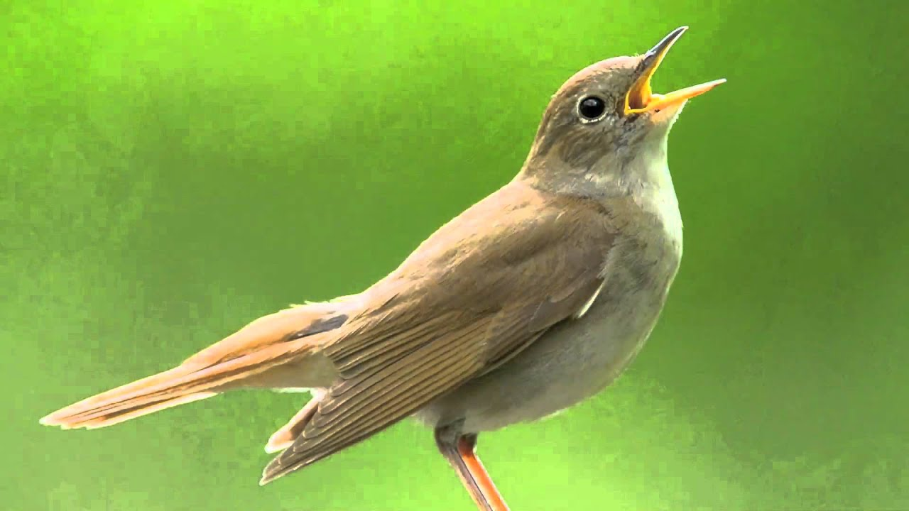 this nightingale sings many sounds and pitches youtube