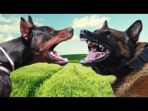 Belgian Malinois vs Doberman Pinscher - Comparison