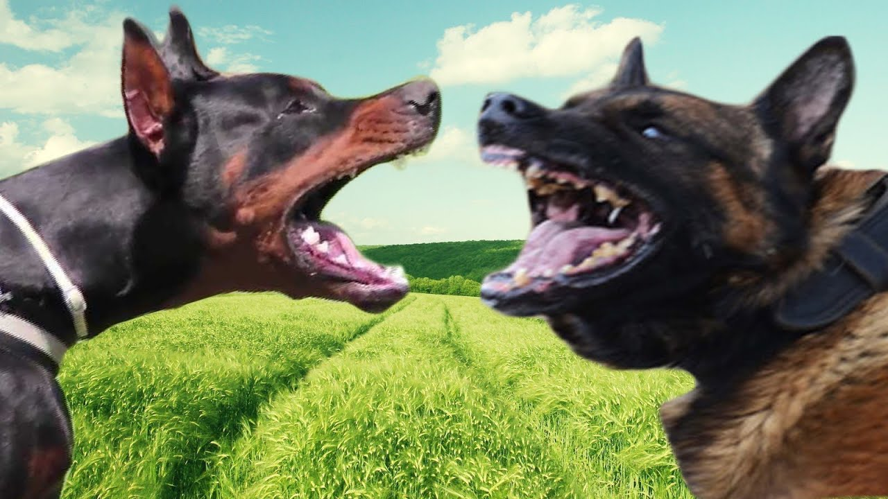 Belgian Malinois Vs Doberman Pinscher