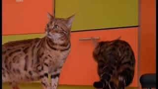 Заводчица породистых кошек из Челябинска пострадала на 200 тысяч рублей