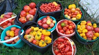 Теплица ломится от томатов Подробный обзор томатов Собираю и рассказываю впечатления о сорте