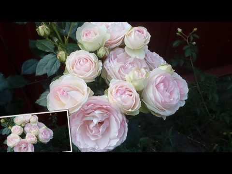 Р.Эден Роза или Пьэр де Ронсар