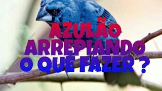 AZULÃO ARREPIANDO A CABEÇA OQUE FAZER ?