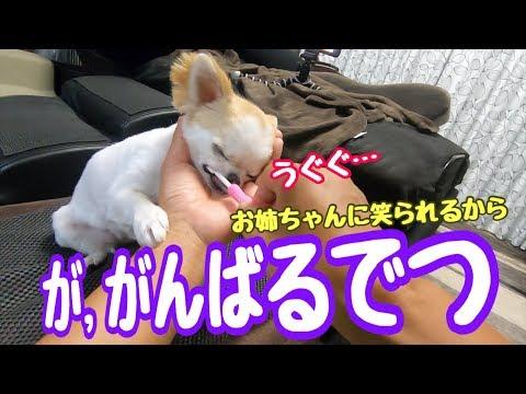 【チワワの歯磨き】飼い主が磨き終えた後には必ず自分から歯磨きの準備をし始める犬