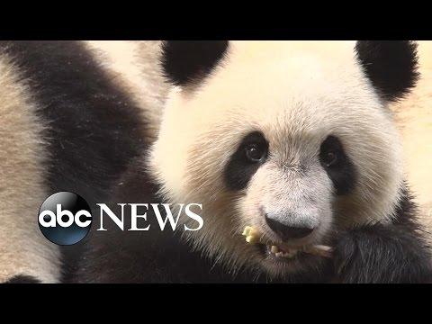Giant Pandas | The Basics