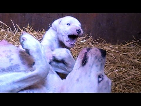 Dogo Argentino Female Puppy 30 days old Vs  her Mother