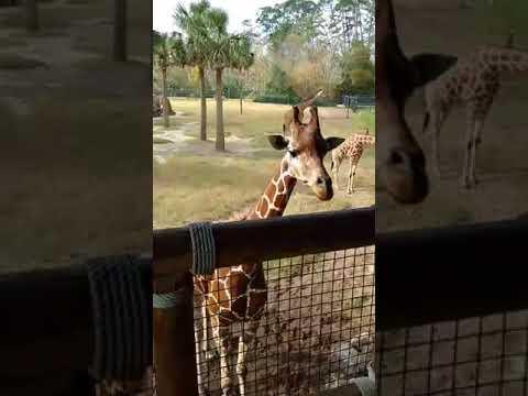 Giraffes at the Jacksonville Zoo, JAX FL