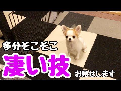 【puppy dog】Vol.6  お手も出来ない生後4ヵ月の子犬チワワが覚えた技がこれです【かわいい犬】【chihuahua】【cute dog】【ペット動画】