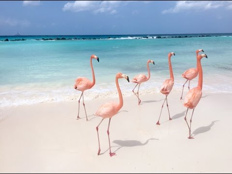 Flamingo Party in the Caribbean!