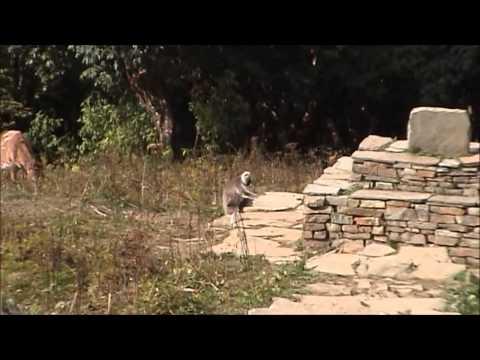 Nepalesische Hanuman Languren