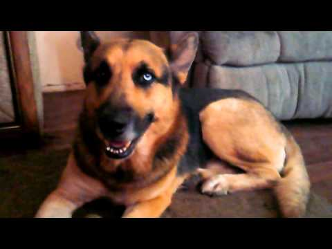 blue eye german shepherd german shepherd with a blue eye rare youtube 2803