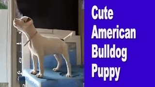 Cute American Bulldog Puppies Being Nursed And Then Puppy Training