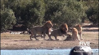 3 Dominant Male Lions vs New Young Male
