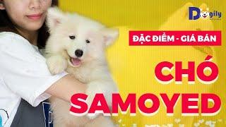 Giống chó Samoyed giá bąo nhiêu tiền? Mua Bán chó Samoyed con thuần chủng, giá rẻ tại Dogily Petshop