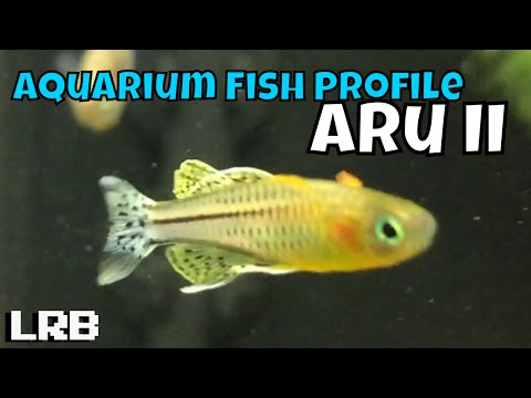🔴 Live Species Profile:Breeding And Keeping Pseudomugil Aru II Rainbowfish Aquarium Fish