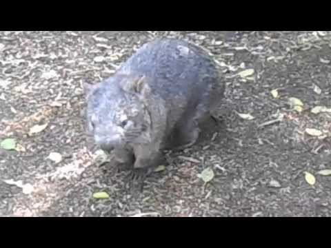 Angry Wombat Noises