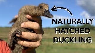 They said DON'T hatch ducks naturally