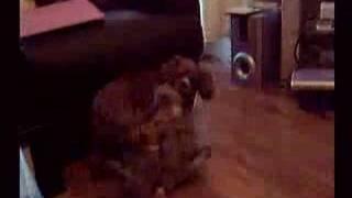 This is Hollys litter Molly, Meg & Summer at 5wks having a rough an...
