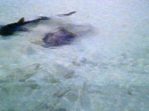 Study suggests tiger sharks opt for scavenging on dead and ... |Tiger Sharks Attack Turtle