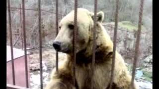 Медведь стесняется (прикол) .mp4