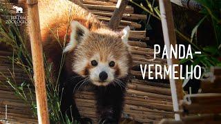 Jardim Zoológico - Panda-vermelho (Ailurus fulgens)