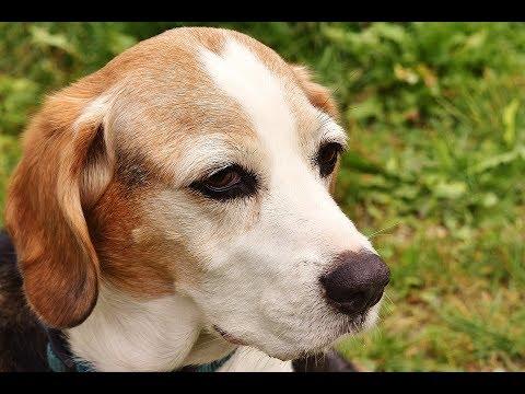 تفسير حلم رؤية كلب ابيض أو اسود أو الخوف منه أو كلاب اليفة في المنام لابن سيرين Youtube