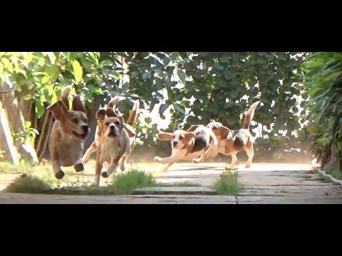 Beagle Breeder In India II Top Beagle Puppies II Sanram's Kennel II Tailwaggers