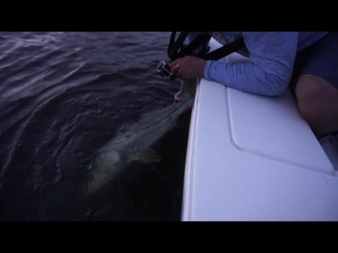 Live Baiting Mullet For Big Snook And Topwater Strikes