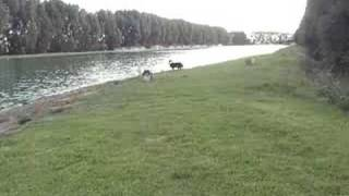 Shelties at Othello Ski pond, there are better clips than this I promise