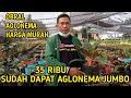 Lelang Obral Aglonema Harga Murah Sepesial Ramadhan  Mp3 - Mp4 Download