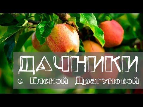 Дачники. Характеристики зимних сортов яблонь