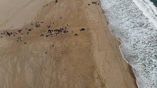 Ursache ungeklärt: Massenhaftes Robben-Sterben in Namibia