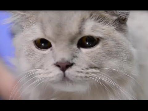 GATOS - ¿Cómo es la castración de una gata?