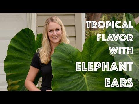 Tropical Flavor with Elephant Ears