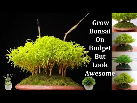 How To Make Bonsai On A Low Budget How To Grow Bonsai Easy Way Green Plants Youtube