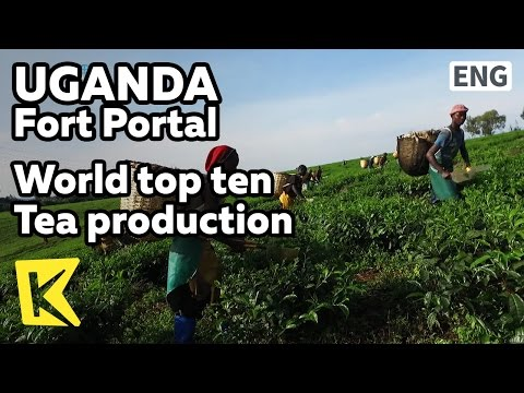 【K】Uganda Travel-Fort Portal[Uganda 여행-포트포탈]세계10대 차 생산국 우간다/Tea/Tea production