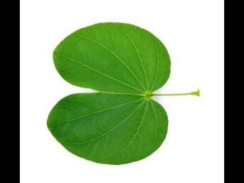Kanchnar - Bauhinia variegata: Ayurvedic Uses, Qualities, Benefits