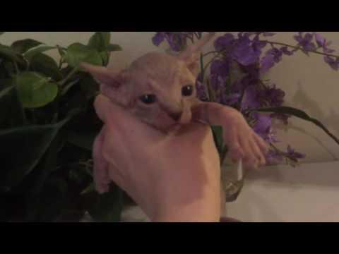 Sweet Sphynx Kitten