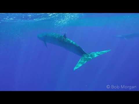 Bryde's Whales feeding on a baitball.